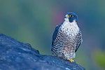 Peregrine falcon portrait against early November autumn colors,