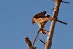 Merlin with songbird prey in early November