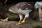 Juvenile Cooper's hawk in early November