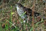 Juvenile Cooper's hawk in early November