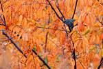 European starling in autumn black cherry