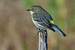 Male yellow-rumped warbler in fall migration