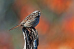 Song sparrow with deformed bill