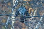 Juvenile Cooper's hawk drying wings after bathing