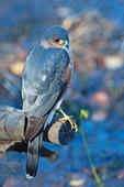 Adult sharp-shinned  hawk in late November