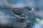 Male dark-eyed junco in late November