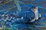 Adult Cooper's hawk bathing in late fall