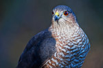 Adult Cooper's hawk close-up in late fall