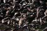 A murmuration starlings