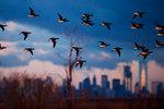 New York lower Manhattan skyline with brant geese