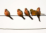 Monk parakeets on wires