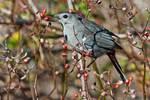 Gray catbird feeding on multi-flora rose hips in late autumn