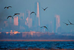 Atlantic brant and New York city skyline at dawn