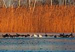 Snow geese and Canada geese on frozen pond in mid-December