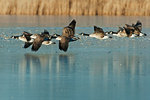 Flock of Canada geese fly over frozen lake