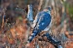 Perched adult sharp-shinned hawk