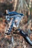 Adult sharp-shinned hawk wing stretch
