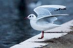Black-headed gull in early January
