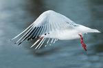 Black-headed gull in early January flight