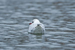 Black-headed gull swimming in early January