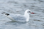 Black-headed gull swimming in early January