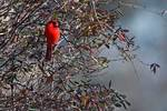 Male northern cardinal feeding on poison ivy berries in early January