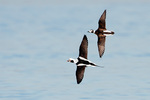 Drake and Female long-tailed ducks in mid-January flight