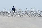Dunlin flock and beach walker