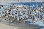 Large dunlin flock in flight