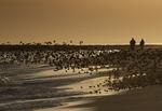 Large dunlin flock beach walkers
