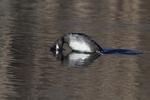 Female bufflehead diving