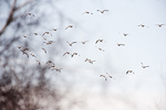 Snow geese flight in late February