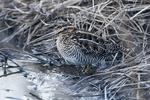 Wilson's snipe in wetland environment
