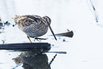 Wilson's snipe in wetland environment