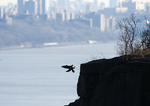 Peregrine falcon landing on cliff