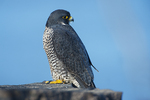 Peregrine falcon perched on cliff