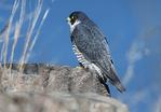 Peregrine, falcon perched on cliff