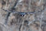 Turkey vulture flight