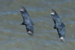 Black vultures in flight