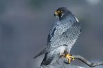 Peregrine  falcon showing dorsal plumage