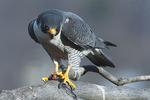 Peregrine falcon with avian prey