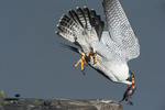 Peregrine falcon diving off cliff with prey