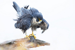 Peregrine falcon shaking