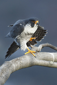 Peregrine falcon wing-stretch