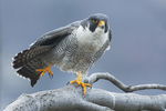 Peregrine falcon wing stretch