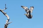 Peregrine falcon landing approach