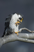 Peregrine falcon  preening, raptors, raptor, birds, nature, Palisades State Park, Peregrine perched on cliff,