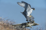 Peregrine falcons mating in late winter