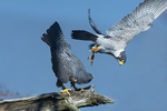 Peregrine falcons mating behavior in late winter