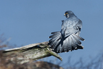 Peregrine falcon fanning tail